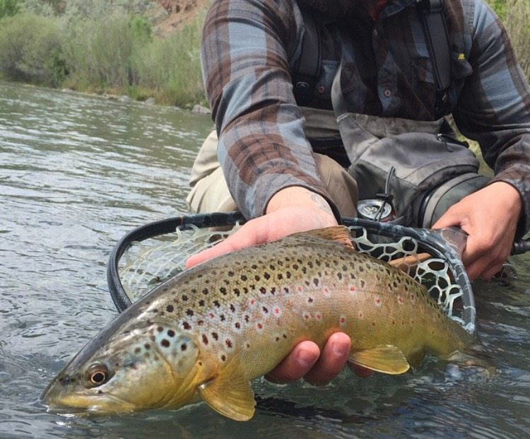 Owyhee river brownie trr outfitters for Owyhee river fly fishing