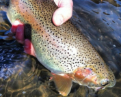 Boise River Fly Fishing Report