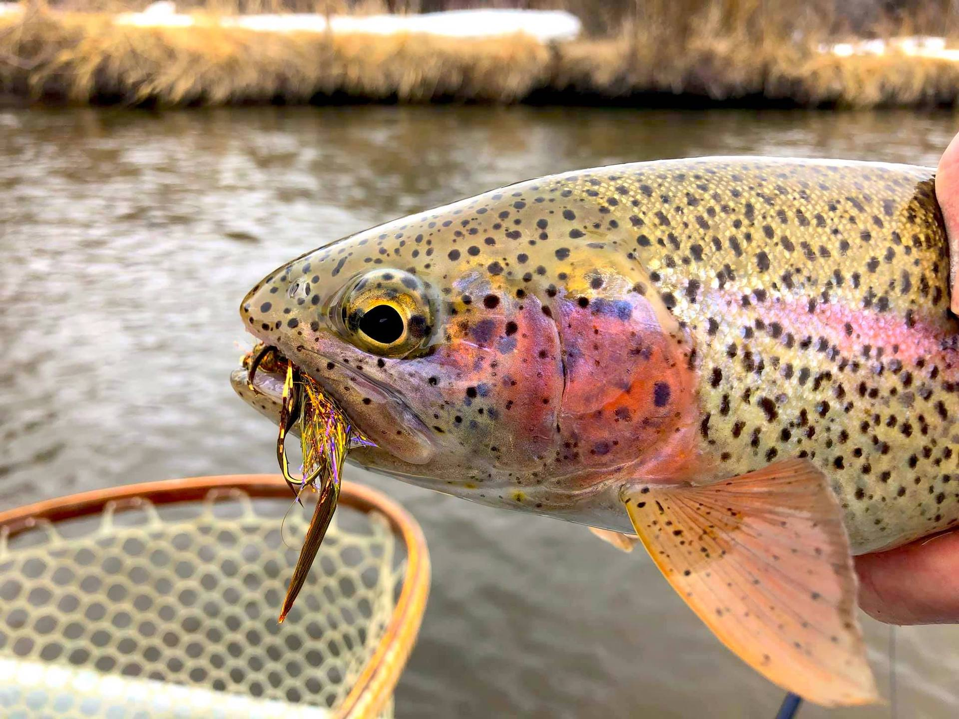 Fly Fishing Eastern Idaho - Rainbow Trout